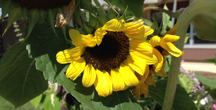 Graphic of Sunflower at the Columbia County Health Care Center