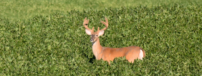 Graphic of Deer in Field